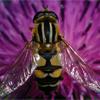 European Honey Bee Jigsaw