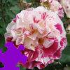 Fourth of July Rose Jigsaw