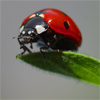 Jigsaw: Ladybug