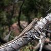 Prairie Lizard Jigsaw