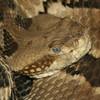 Timber Rattlesnake Jigsaw